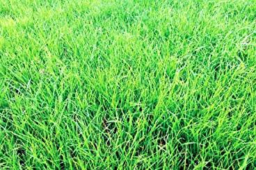 Annual-Ryegrass-Field