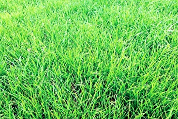Annual-Ryegrass-Field