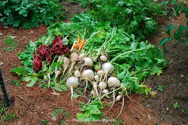 rootcrop